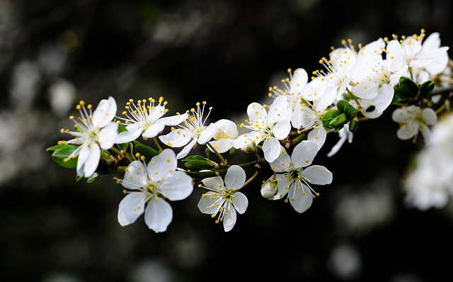 white-cherry-blossoms-4100x2556_92775